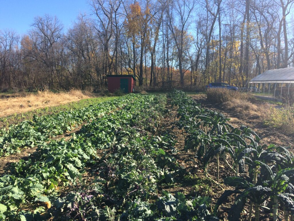 SUGARSNAP'S BEDS OF KALE IN THE LATE FALL. WE GREW THREE VARIETIES OF KALE THIS YEAR INCLUDING TOSCANO, RED RUSSIAN, AND NASH'S GREEN KALE