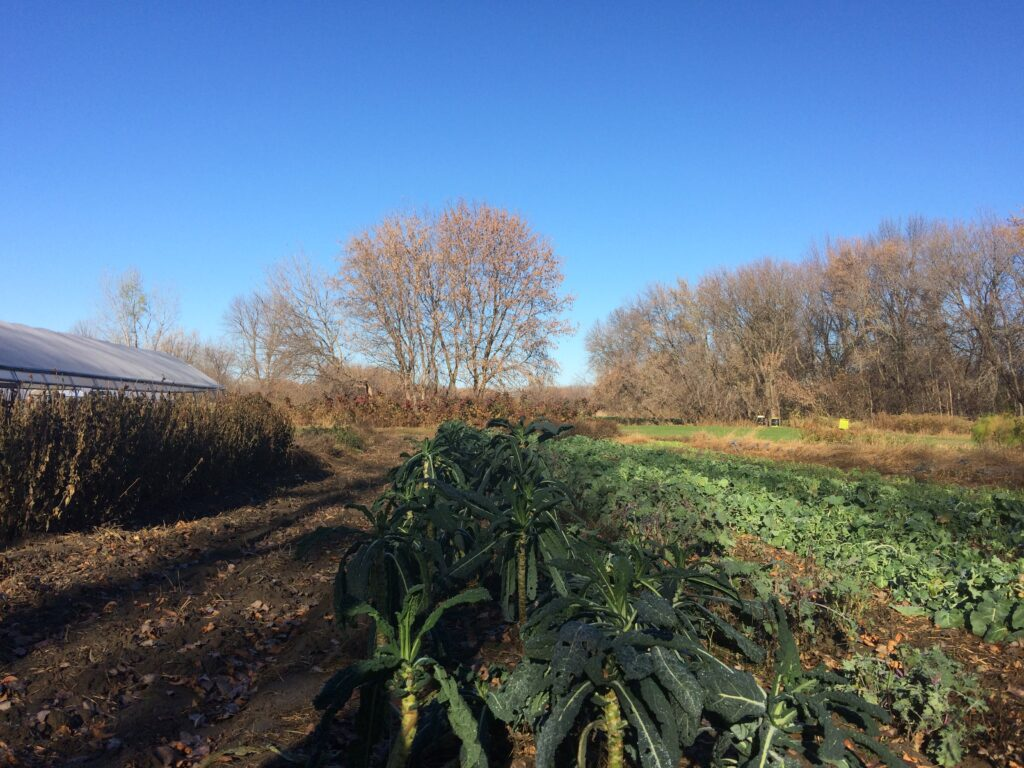 LOOKING OUT OVER THE ROWS OF KALE AT THE SUGARSNAP FARM. THE TOSCANO KALE PLANTS ARE TURNING INTO TREES!
